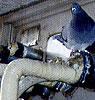 ハト被害状況